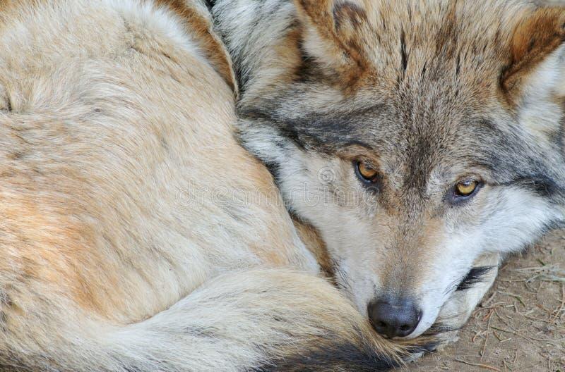 μεξικάνικος λύκος στοκ εικόνα με δικαίωμα ελεύθερης χρήσης