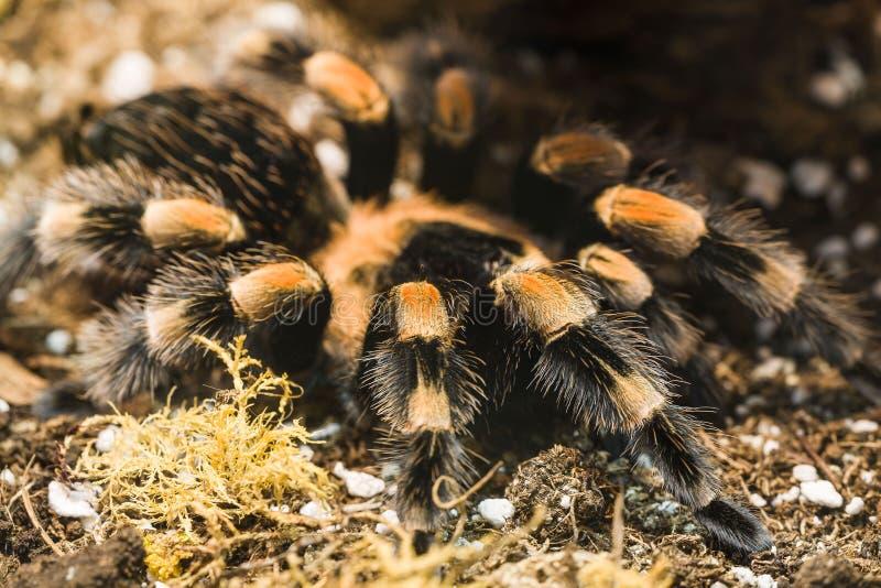 μεξικάνικο tarantula redknee στοκ εικόνες