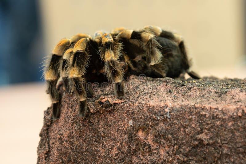 Μεξικάνικο tarantula redknee, smithi Brachypelma στοκ φωτογραφία