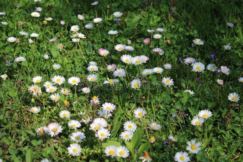 Μερικά άσπρα chamomiles στοκ φωτογραφία