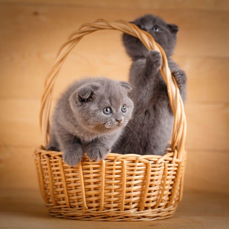 Μερικά αστεία σκωτσέζικα γατάκια που κάθονται στο ψάθινο καλάθι στοκ εικόνες με δικαίωμα ελεύθερης χρήσης