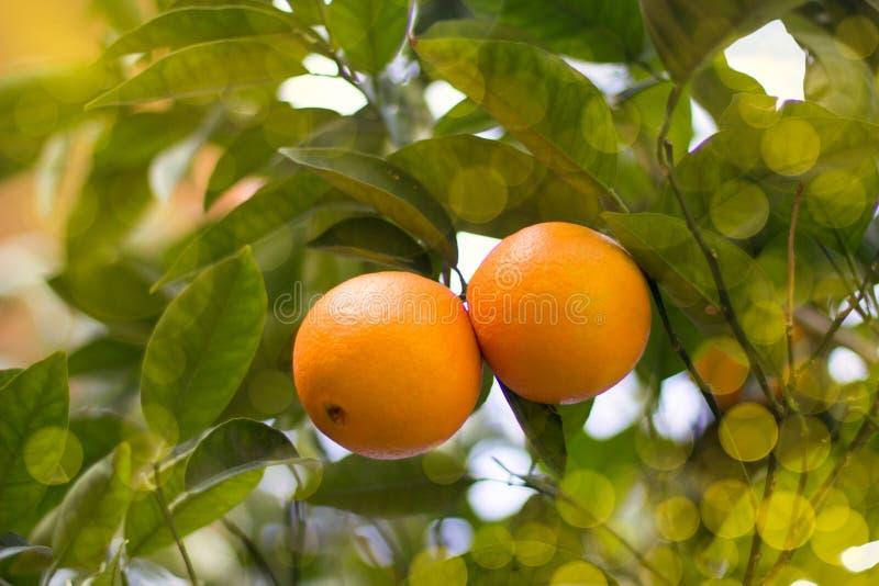 Μερικά μανταρίνια σε ένα δέντρο στοκ εικόνες