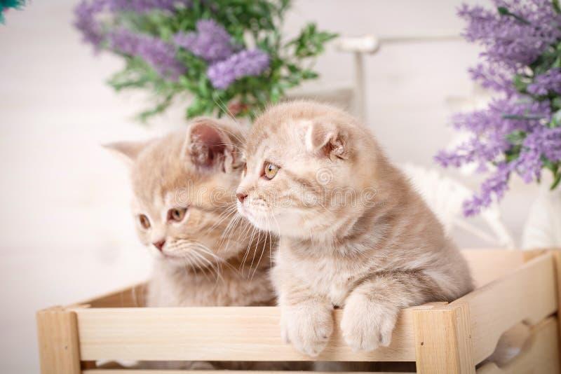 Μερικά σκωτσέζικα κόκκινα γατάκια κάθονται σε ένα διακοσμητικό ξύλινο κιβώτιο στοκ φωτογραφία με δικαίωμα ελεύθερης χρήσης