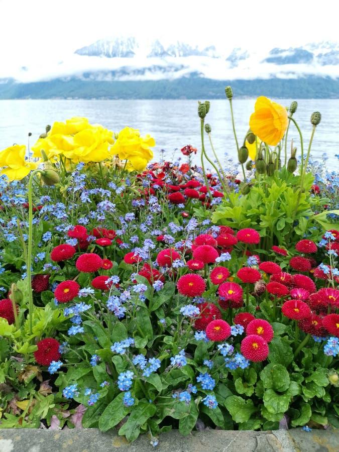 Μερικά χρωματισμένα λουλούδια στην ακτή της λίμνης της Γενεύης με τα ελβετικά όρη σε ένα συμπαθητικό υπόβαθρο bokeh στοκ εικόνες