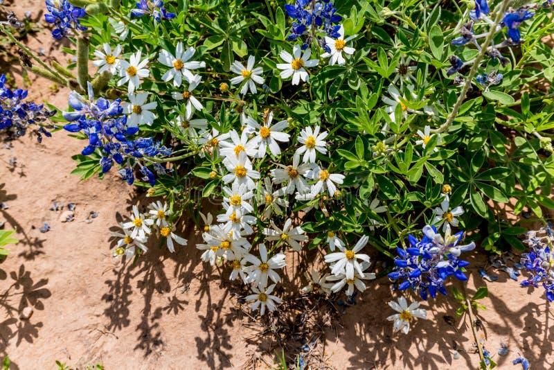 Μερικές άσπρες μαργαρίτες Blackfoot με Bluebonnet Wildflowers σε Tex στοκ φωτογραφία