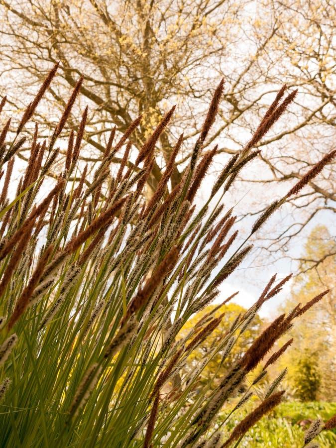 Μερικές πανέμορφο άνθισμα και πουπουλένιες βιασύνες που αυξάνονται στην πλευρά στοκ εικόνες με δικαίωμα ελεύθερης χρήσης