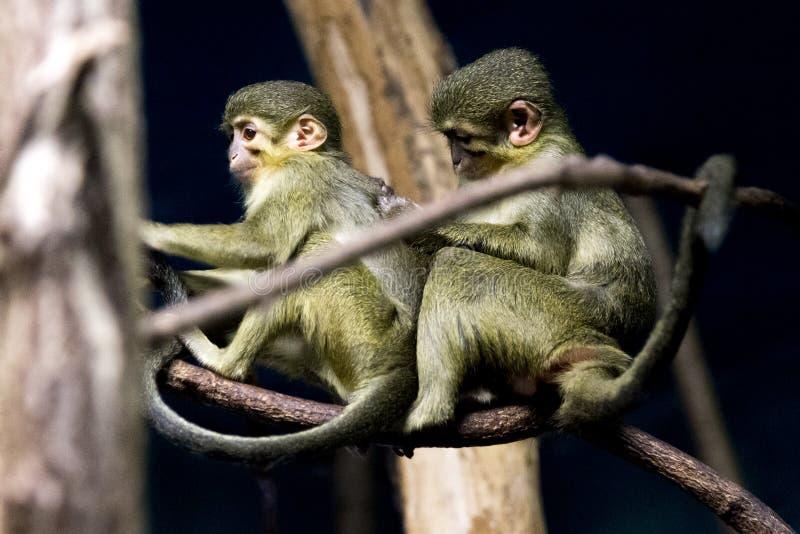 Μερική Γκαμπόν talapoins που φροντίζει η μια την άλλη στοκ φωτογραφία
