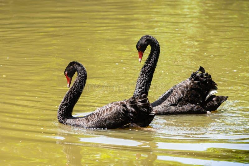 Μερικός μαύρο φλερτάρισμα κύκνων στη λίμνη στοκ εικόνες