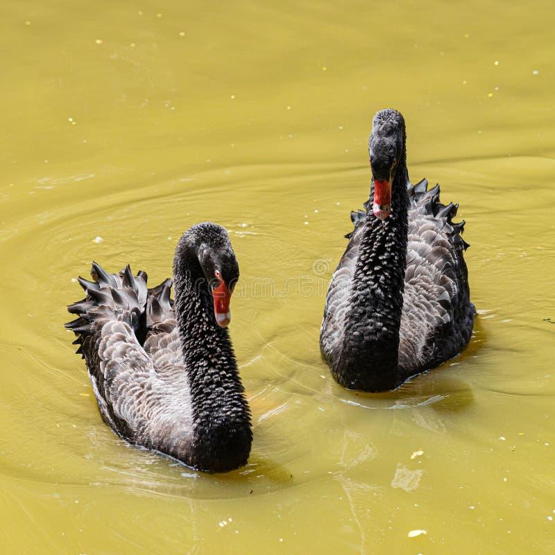 Μερικός μαύρο φλερτάρισμα κύκνων στη λίμνη στοκ εικόνες με δικαίωμα ελεύθερης χρήσης