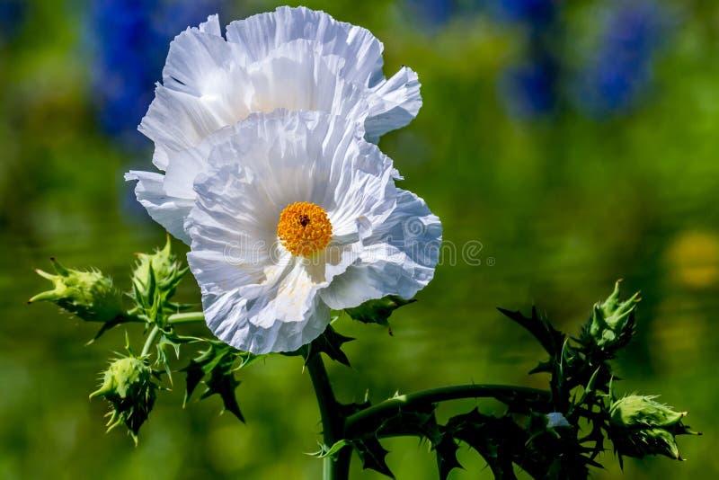 Μερικός όμορφη άσπρη τραχιά παπαρούνα Wildflowers στοκ εικόνα