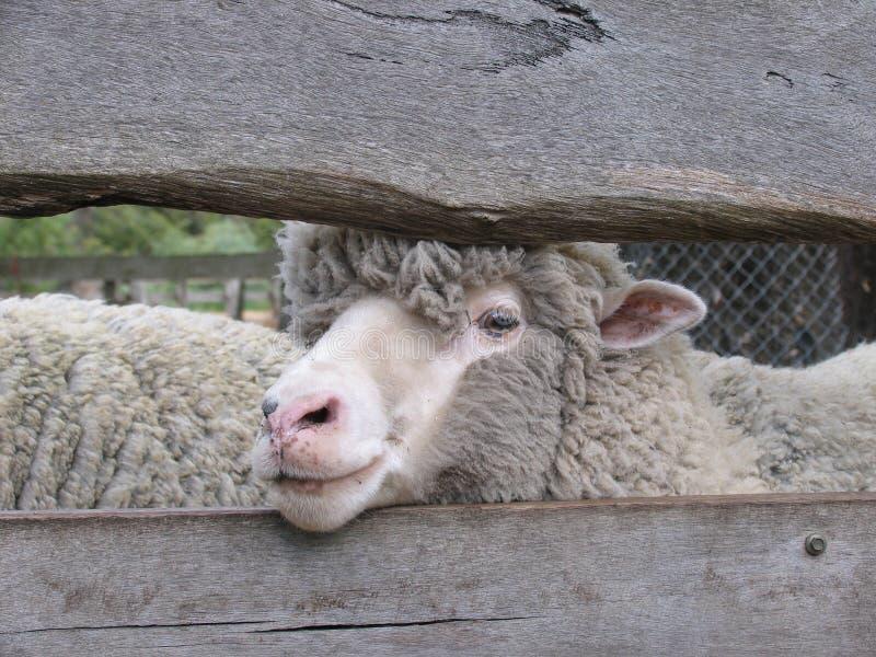μερινός πρόβατα στοκ εικόνες με δικαίωμα ελεύθερης χρήσης