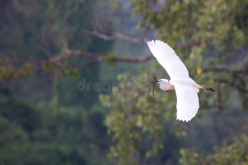 Μεσαία ευρέα ανοικτά φτερά τσικνιάδων στοκ φωτογραφία
