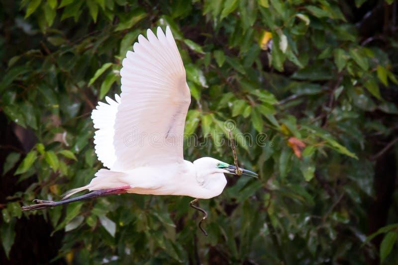 Μεσαίος τσικνιάς που πετά με ένα ραβδί και τα φτερά ευρέως ανοικτά στοκ φωτογραφία με δικαίωμα ελεύθερης χρήσης