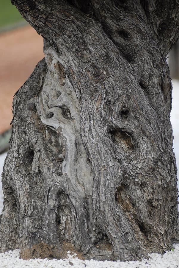 Μεσογειακός παλαιός κορμός ελιών στοκ φωτογραφία με δικαίωμα ελεύθερης χρήσης