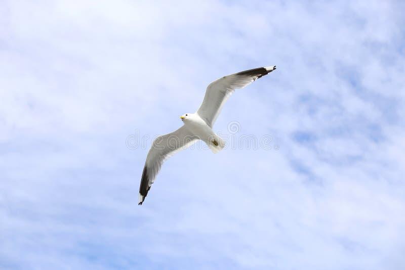 Μεσογειακό άσπρο seagull πέταγμα στοκ φωτογραφίες