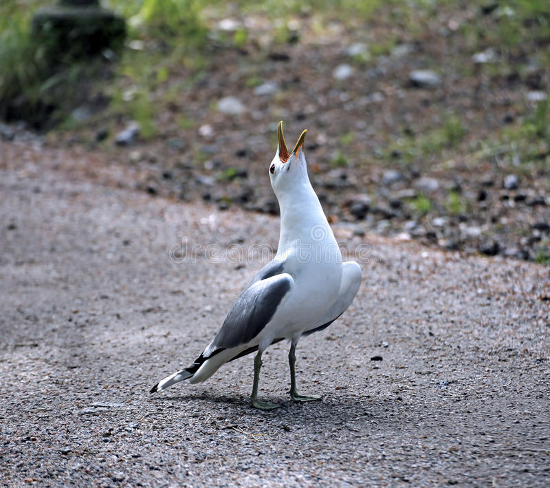Μεσογειακό άσπρο seagull στοκ εικόνες