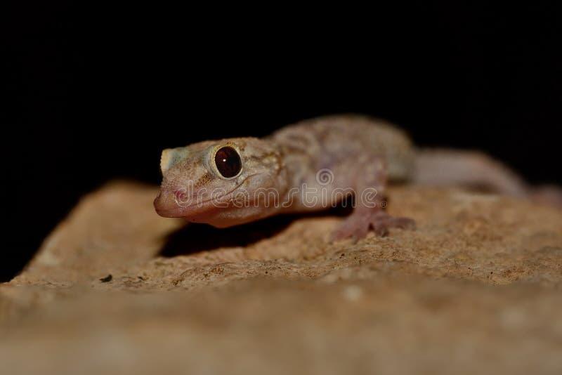 Μεσογειακό gecko σπιτιών - turcicus Hemidactylus στοκ φωτογραφία