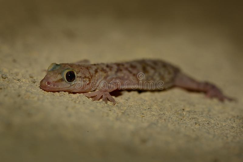 Μεσογειακό gecko σπιτιών - turcicus Hemidactylus στοκ φωτογραφία με δικαίωμα ελεύθερης χρήσης
