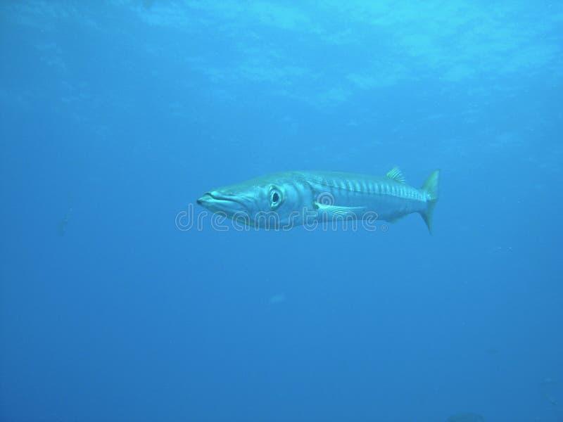 Μεσόγειος barracuda στοκ φωτογραφίες