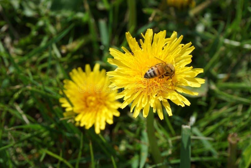 Μέλισσα σε μια πικραλίδα στοκ φωτογραφίες