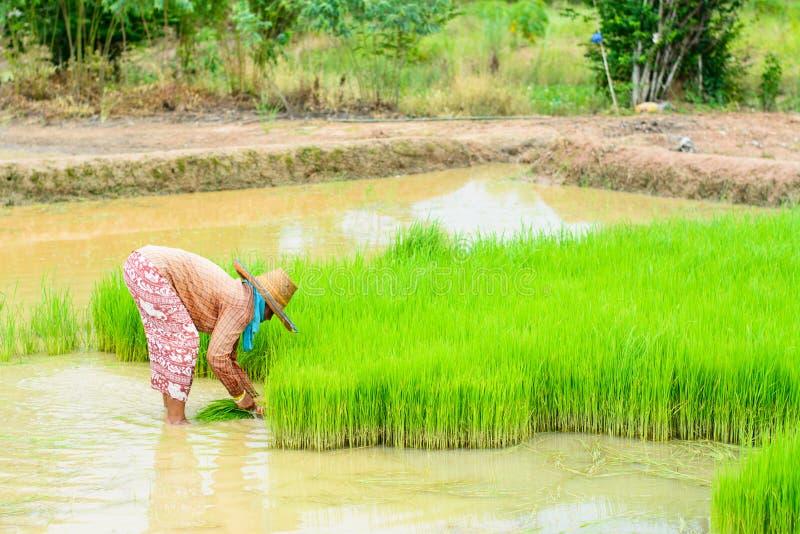 Μεταμόσχευση της Farmer στοκ εικόνα με δικαίωμα ελεύθερης χρήσης