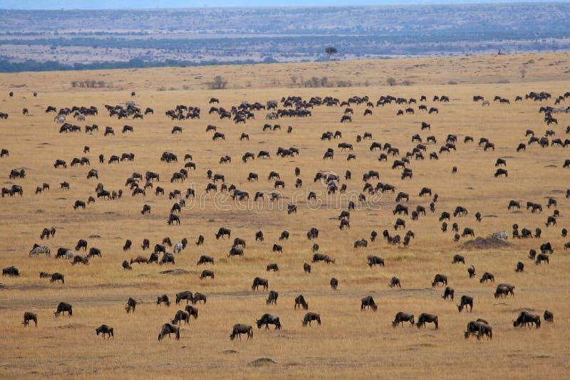 Download μετανάστευση η πιό Wildebeesη Στοκ Εικόνες - εικόνα από βοσκή, λιβάδι: 2230806