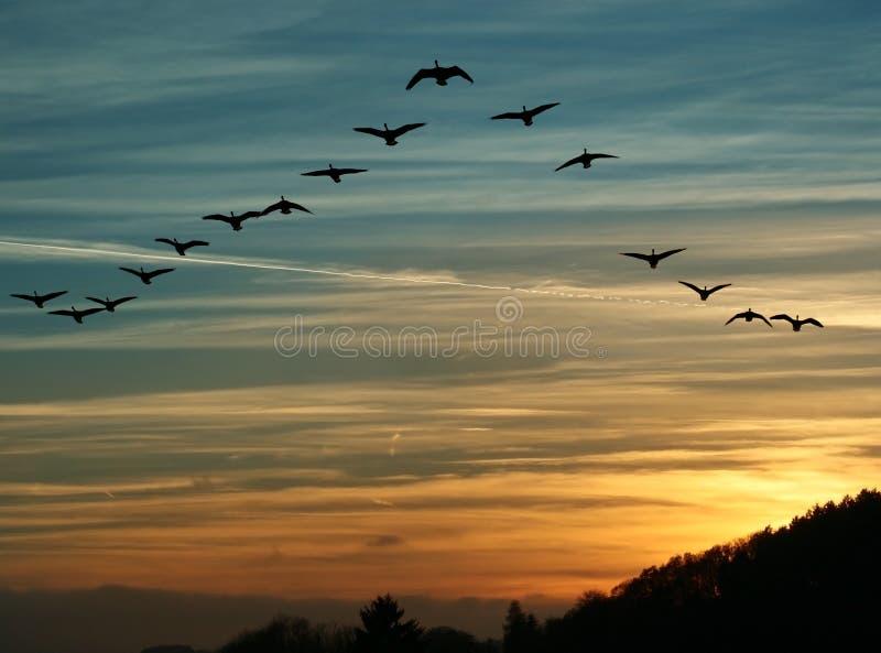 Μετανάστευση πουλιών στο ηλιοβασίλεμα στοκ φωτογραφίες