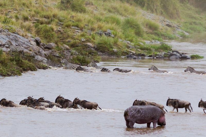 Μετανάστευση των herbivores πέρα από τον ποταμό της Mara στην Κένυα Masai Mara, Αφρική στοκ φωτογραφίες