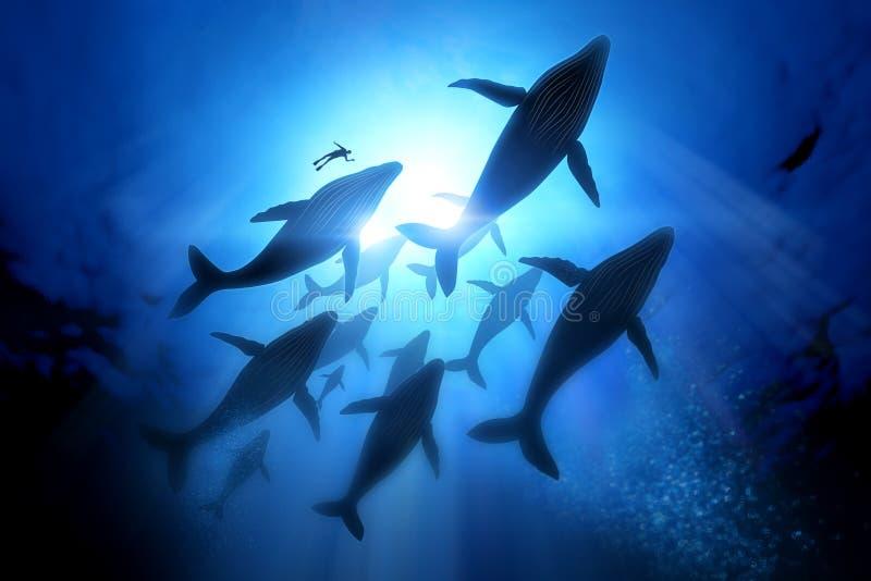 Μετανάστευση φαλαινών Humpback ελεύθερη απεικόνιση δικαιώματος