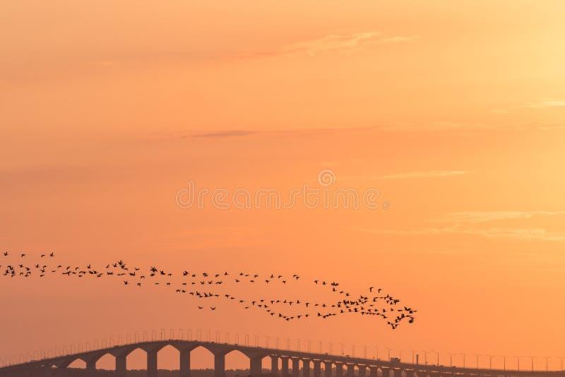 Μεταναστεύοντας χήνες του Brent από μια γέφυρα στο ηλιοβασίλεμα στοκ εικόνες