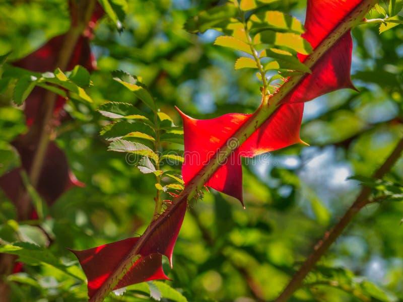 Μεταξωτό sericea ροδαλός-Rosa στοκ εικόνα
