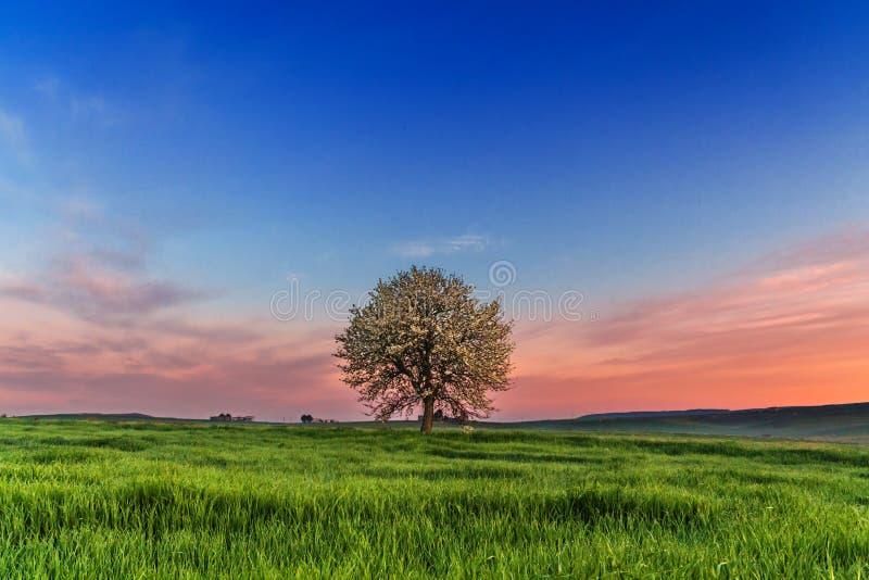 Μεταξύ Apulia και του Βασιλικάτα Λοφώδες ελατήριο: ανατολή με το μόνο δέντρο στην άνθιση Ιταλία στοκ φωτογραφία