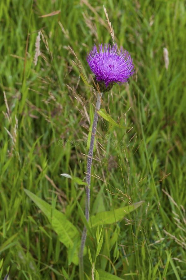 Μελαγχολικός κάρδος στις άγρια περιοχές στα σκωτσέζικα βουνά Cairngorm στοκ εικόνες