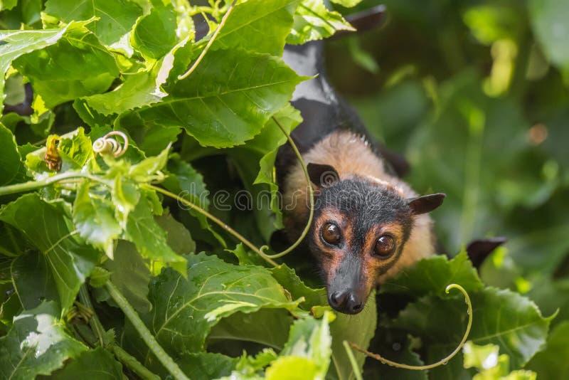Με γυαλιά πετώντας ρόπαλο φρούτων αλεπούδων με τις αμπέλους Passionfruit στοκ φωτογραφία