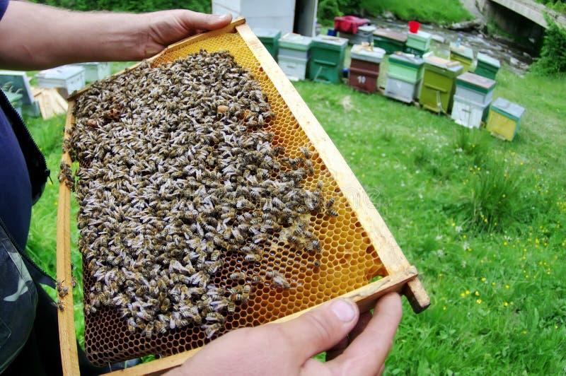 Μελισσοκόμος και μέλισσες στην κηρήθρα στοκ εικόνα