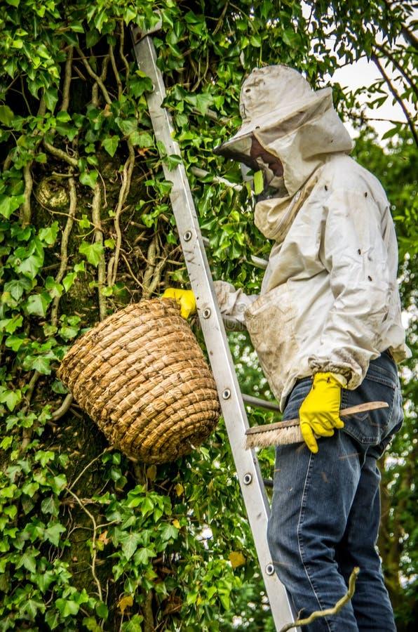 Μελισσοκόμος που αφαιρεί μια αποικία μελισσών από ένα δέντρο στοκ φωτογραφίες
