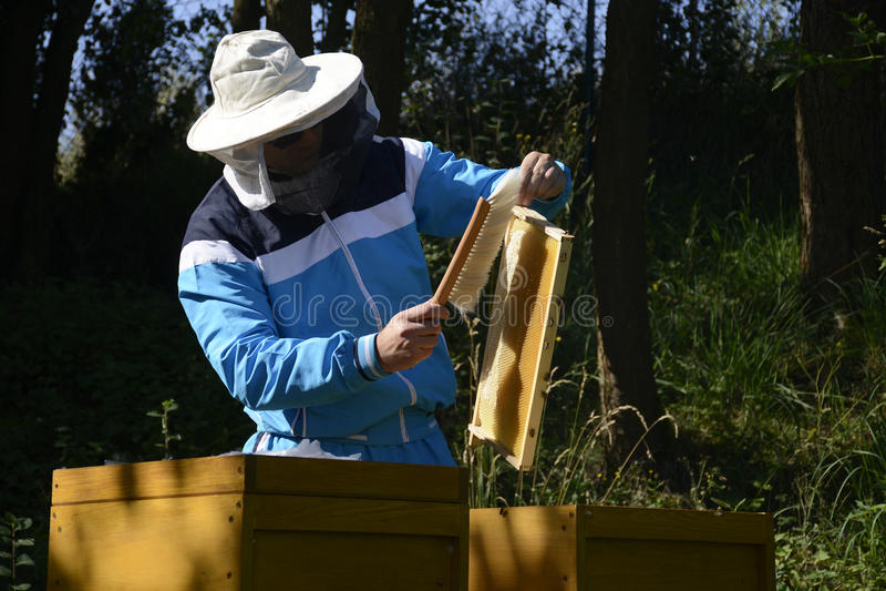 Μελισσοκόμος που καθιστά τις φρέσκες χρυσές μέλισσες μελιού υγιείς στοκ φωτογραφία με δικαίωμα ελεύθερης χρήσης