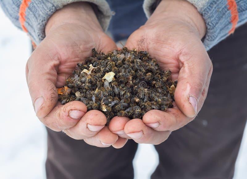 Μελισσοκόμος που κρατά τις νεκρές μέλισσες φυτοφάρμακα το varroa άκαρι στοκ εικόνα