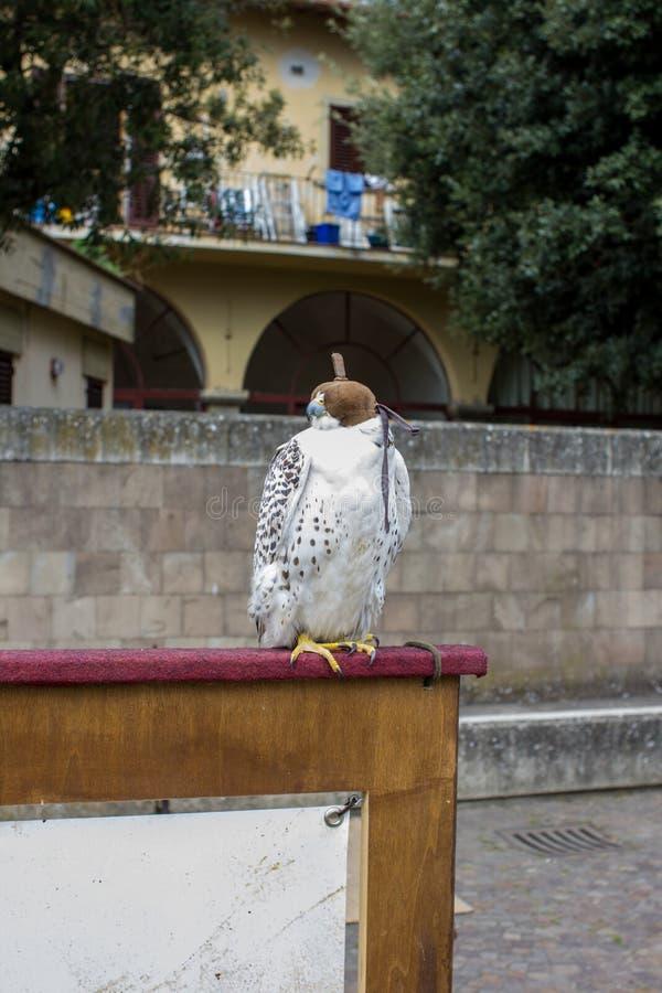 Με κουκούλα αναμονή FALCO για το falconer στοκ φωτογραφίες