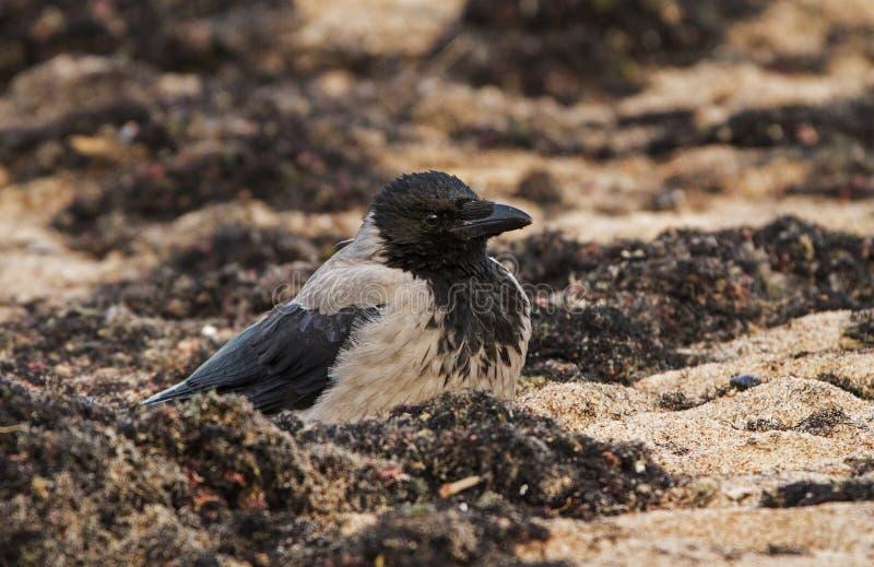 Με κουκούλα κόρακας στην παραλία στοκ εικόνες