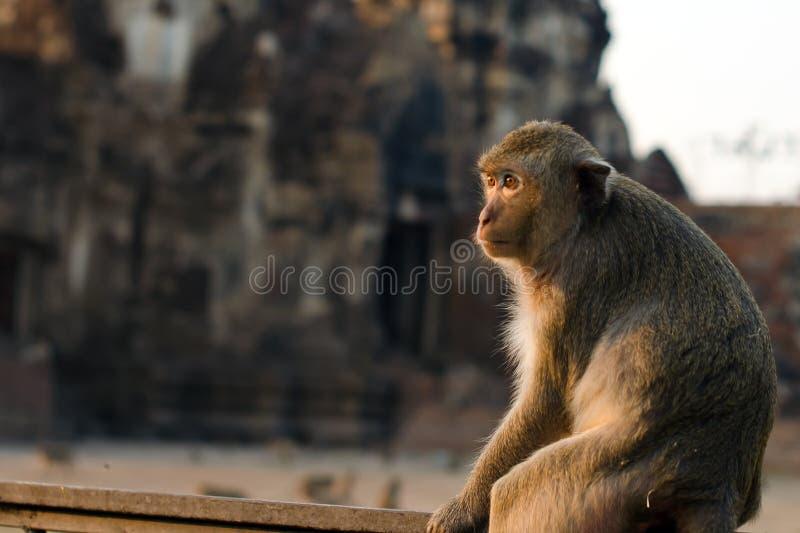 Με μακριά ουρά πίθηκος στην επαρχία Lopburi, Ταϊλάνδη στοκ φωτογραφία