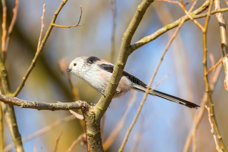 Με μακριά ουρά tit στο caudatus Aegithalos κλάδων χαριτωμένο λίγο πουλί στοκ εικόνες