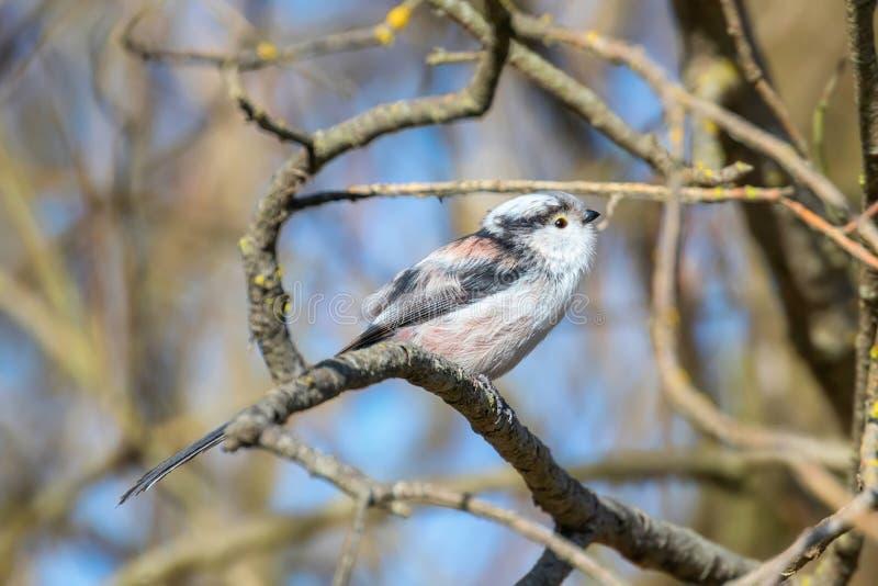 Με μακριά ουρά tit στο caudatus Aegithalos κλάδων χαριτωμένο λίγο πουλί στοκ φωτογραφία με δικαίωμα ελεύθερης χρήσης