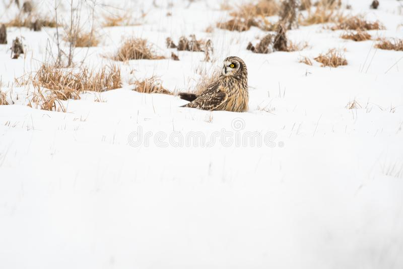 Με μικρά αυτιά κουκουβάγια στο χιόνι στοκ φωτογραφίες με δικαίωμα ελεύθερης χρήσης