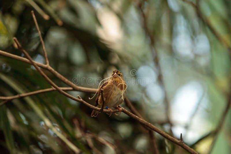 Με μυτερή ουρά macroura Vidua πουλιών Whydah στοκ φωτογραφίες με δικαίωμα ελεύθερης χρήσης