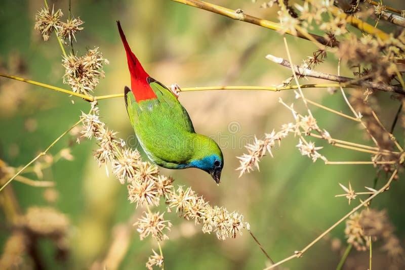 Με μυτερή ουρά Parrotfinch στοκ εικόνα με δικαίωμα ελεύθερης χρήσης
