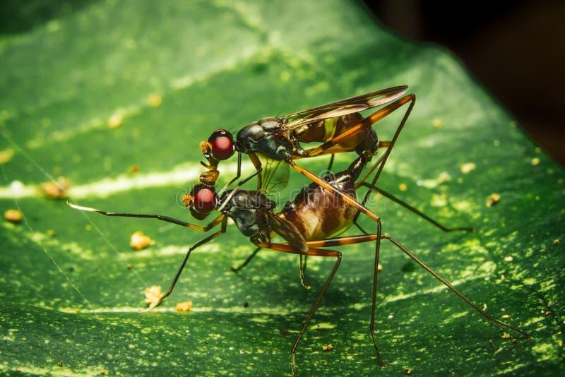 Με πόδια μύγες ξυλοποδάρων ζεύγους που ζευγαρώνουν στο φύλλο στοκ φωτογραφία με δικαίωμα ελεύθερης χρήσης