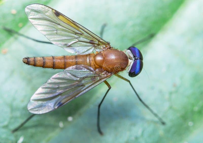 Με πόδια μύγα ξυλοποδάρων στοκ εικόνα