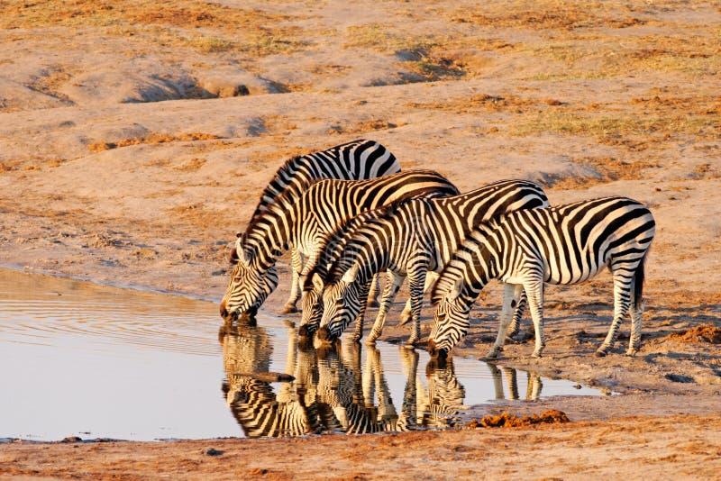 με ραβδώσεις πεδιάδων equus κ στοκ φωτογραφίες με δικαίωμα ελεύθερης χρήσης