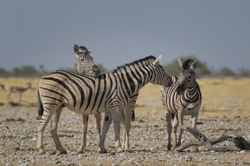 Με ραβδώσεις πεδιάδων - quagga Equus στοκ φωτογραφίες